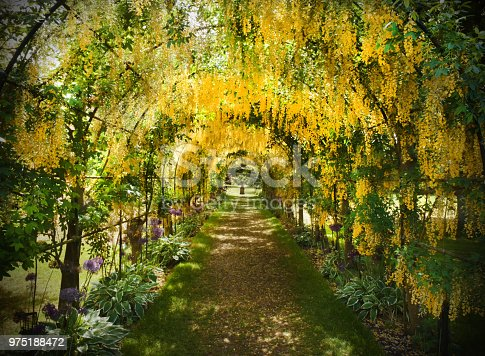 Yellow laburnum flowers trained to hang in an arched tunnel in an English garden in early summer