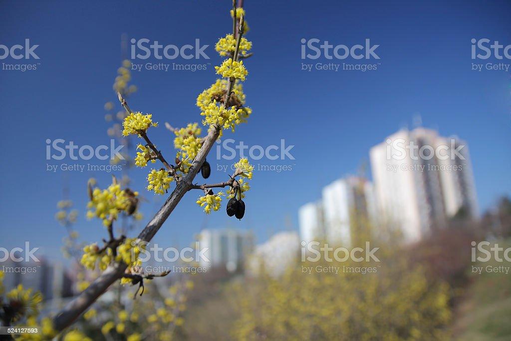 Laburnun in city stock photo