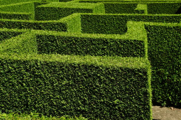 labyrinth of green hedges stock photo