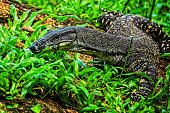 Goanna crawling on a log in the bush with his tongue sticking out