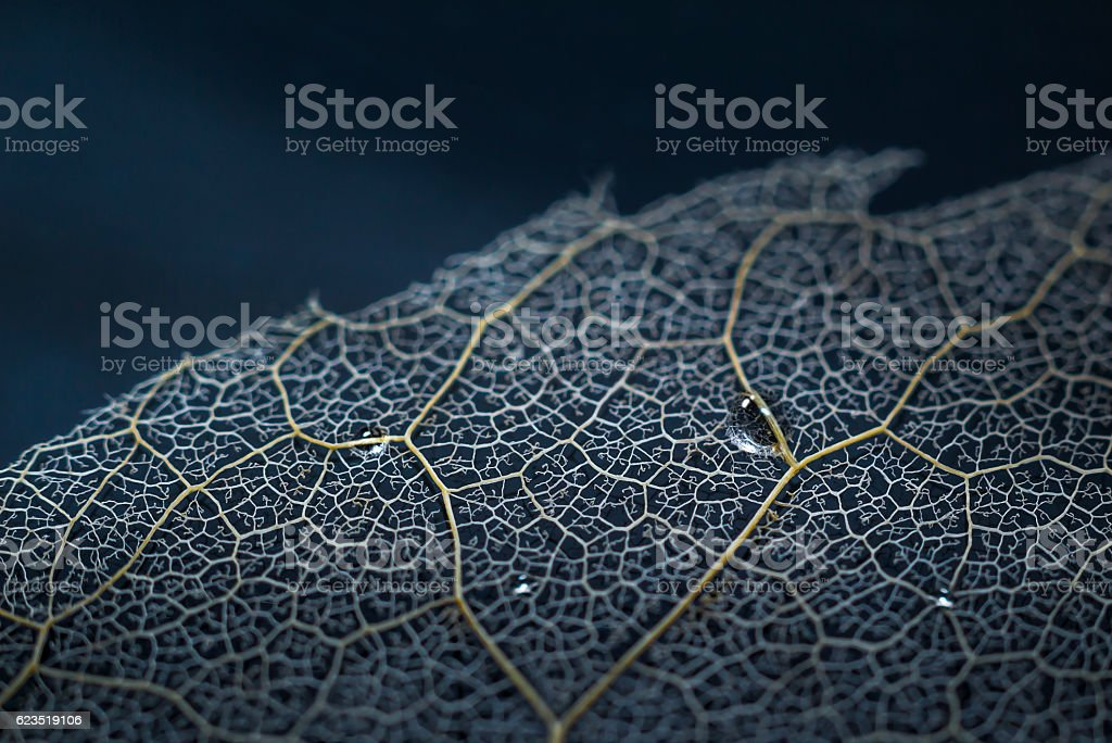 Lace (sheet skeleton). stock photo