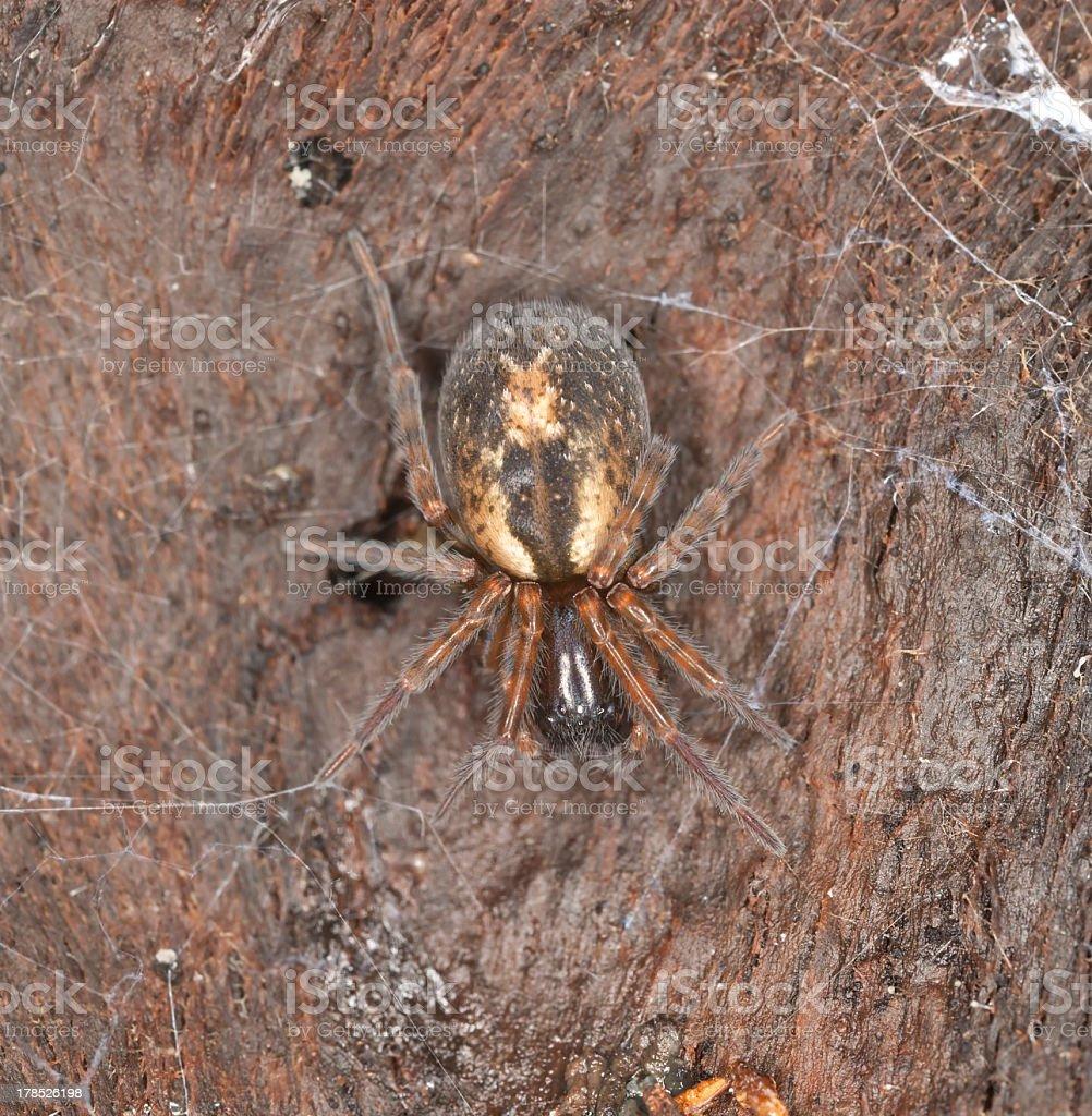 Lace webbed spider (Amaurobius fenestralis) sitting on wood royalty-free stock photo