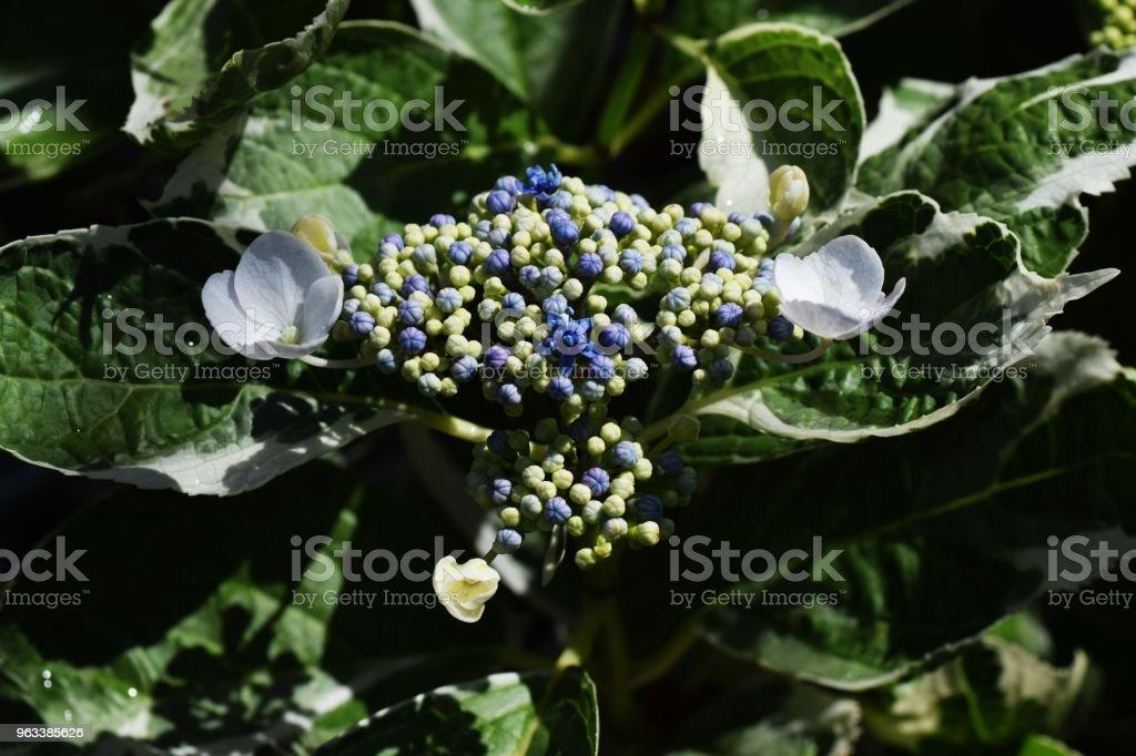 Lacecap hydrangea (Variegated leaf) - Zbiór zdjęć royalty-free (Czapka)