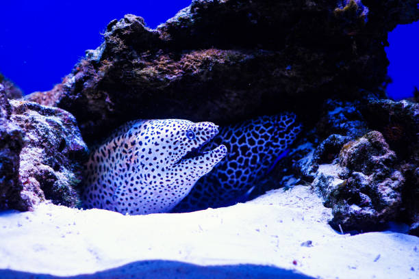 Laced moray (Gymnothorax favagineus) in the coral reef Laced moray (Gymnothorax favagineus) in the coral reef fangtooth stock pictures, royalty-free photos & images
