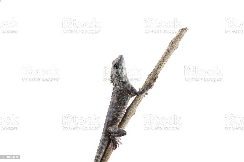 Lacertilia (Sauria)  on white background stock photo