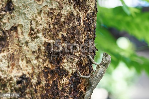 Lacertilia or Sauria reptile hanging on the tree Looking for bait to eat.