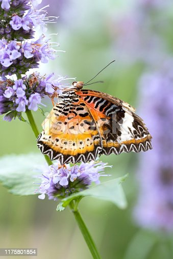Close up image of a common lacewing butterfly (Cethosia biblis) on delicate purple flowers
