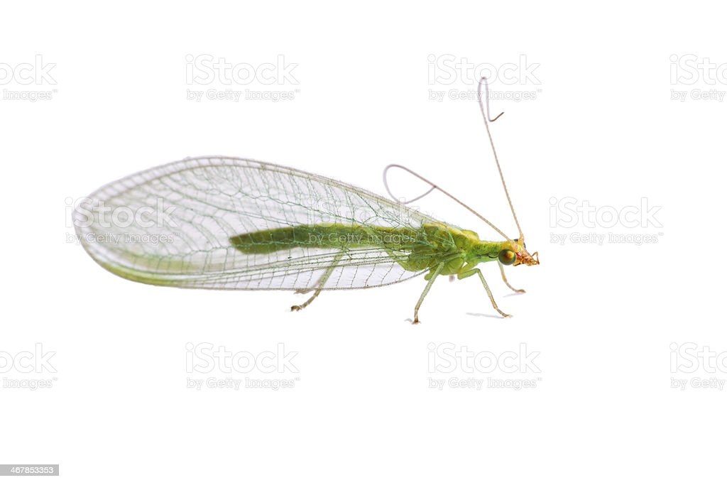 Lacewing fly stock photo