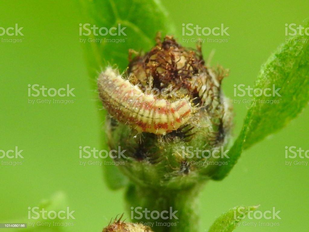 Lacewing larva stock photo