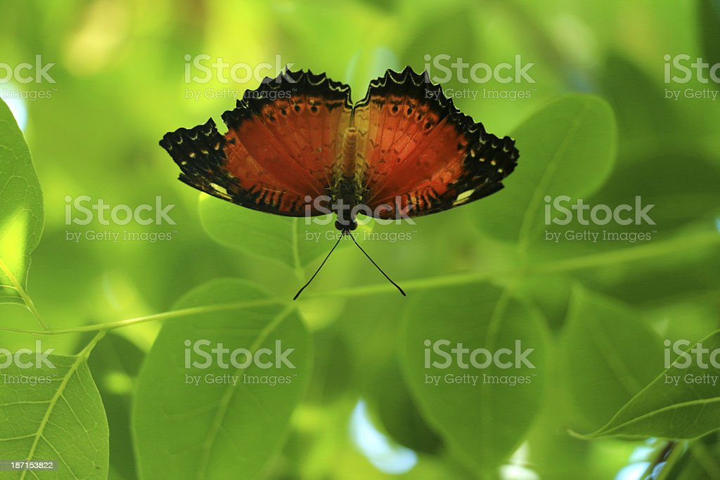 Lacewing stock photo