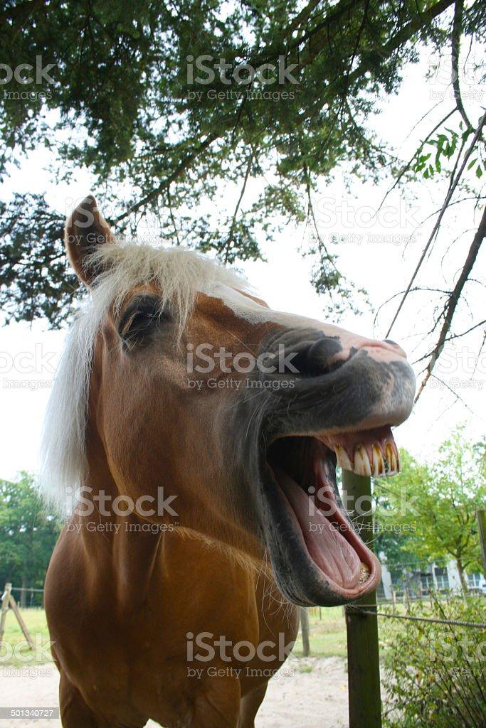 Lachendes Pferd stock photo