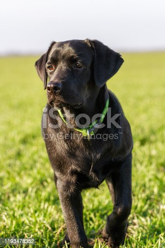 Black labrador dog in a field on green grass