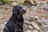 Beautiful black labrador dog with wet hair