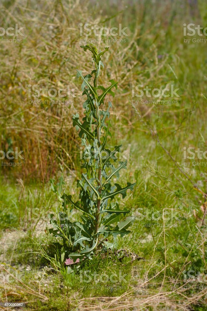 Lactuca virosa - wild lettuce stock photo