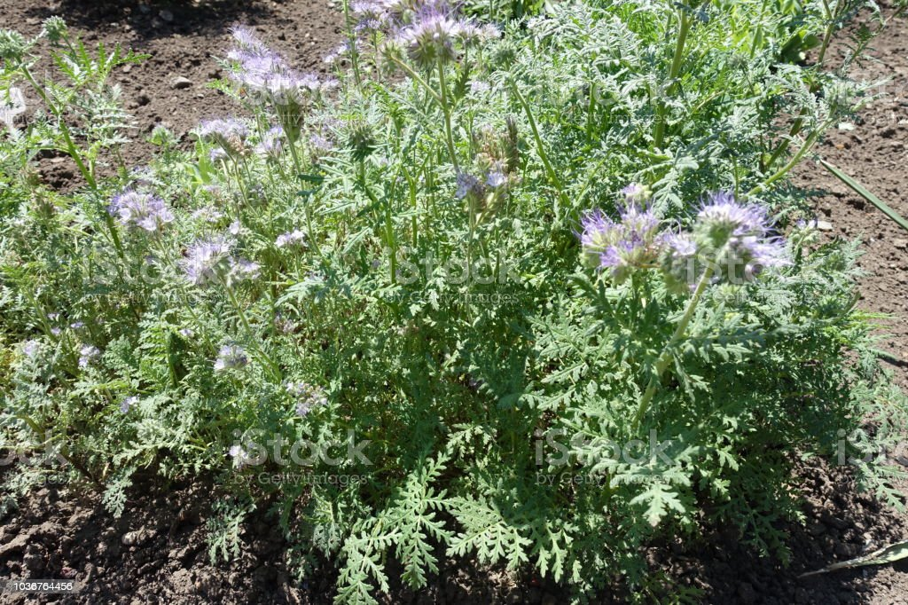 Lacy leaves and pale violet flowers of Phacelia tanacetifolia stock photo