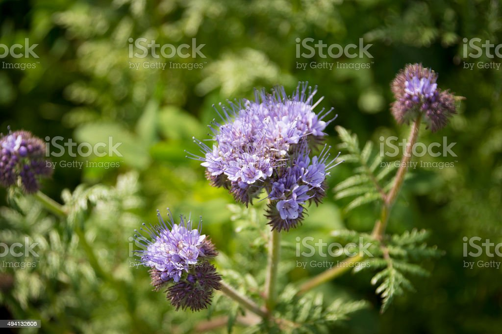 Lacy phacelia flower stock photo