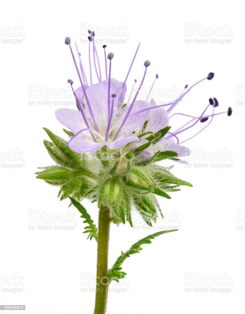 lacy phacelia ( phacelia tanacetifolia) stock photo