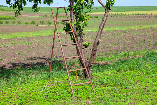 ladder for collecting cherries