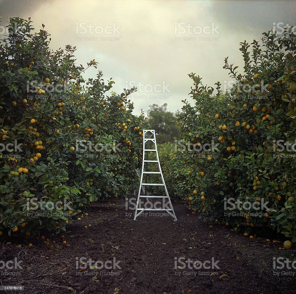 Ladder in Orchard royalty-free stock photo