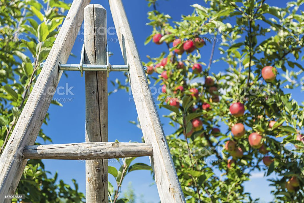Ladder with Apple Tree royalty-free stock photo