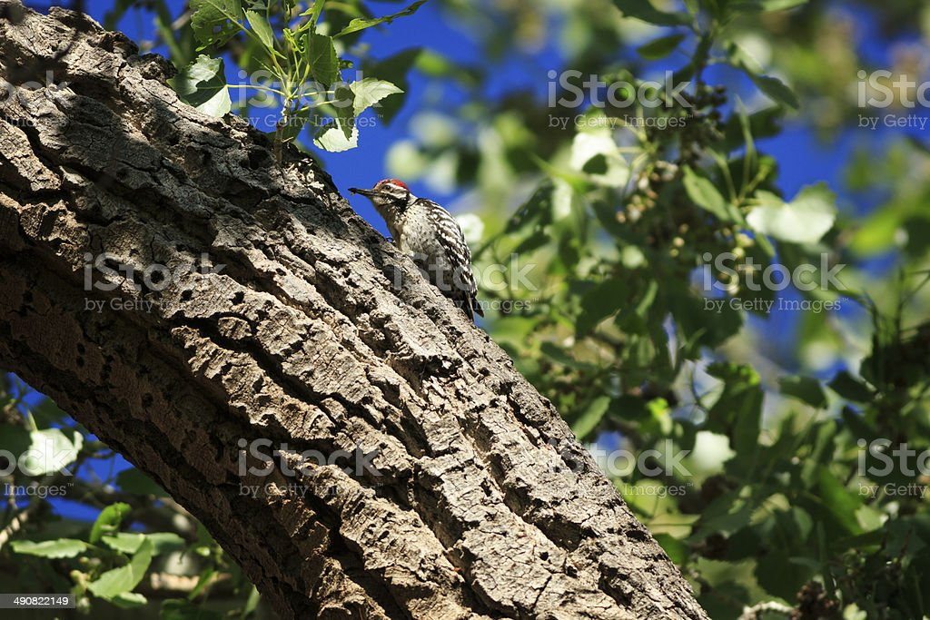 Ladder-backed Woodpecker in Cottonwood royalty-free stock photo