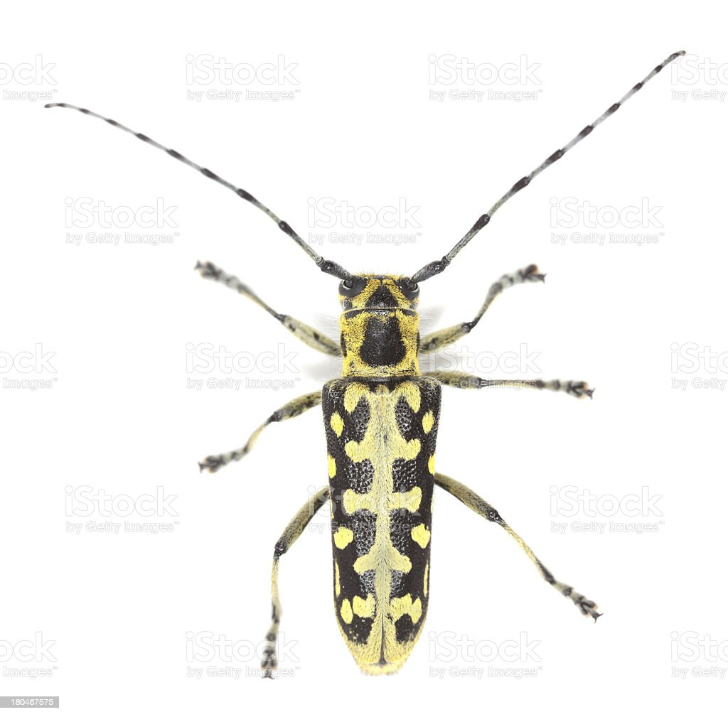 Ladder-marked long horn beetle, Saperda scalaris isolated on white background royalty-free stock photo