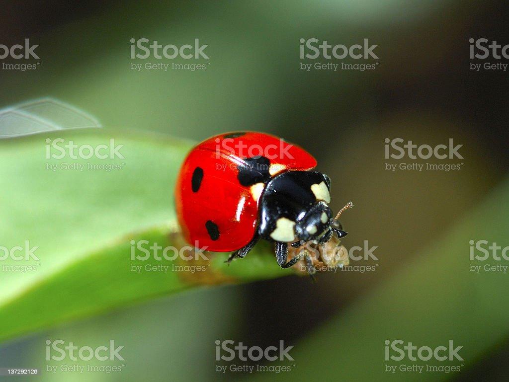 Lady Beetle royalty-free stock photo