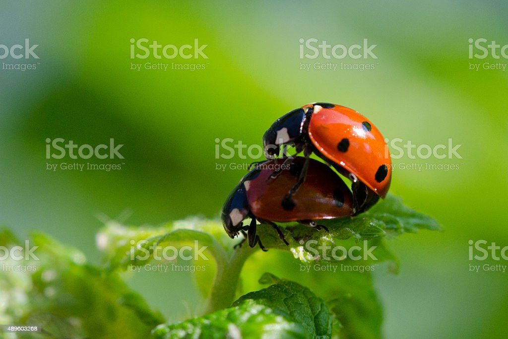 Lady Beetles in Love stock photo