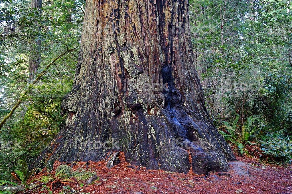 Lady Bird Johnson Redwood stock photo