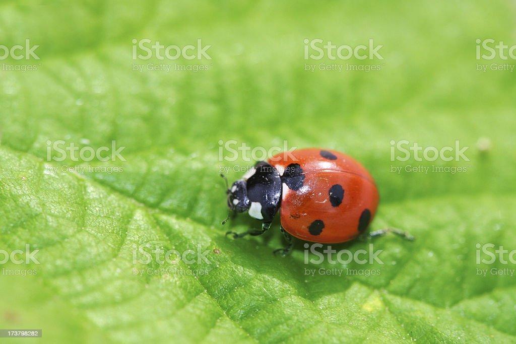 Lady Bug 1 royalty-free stock photo