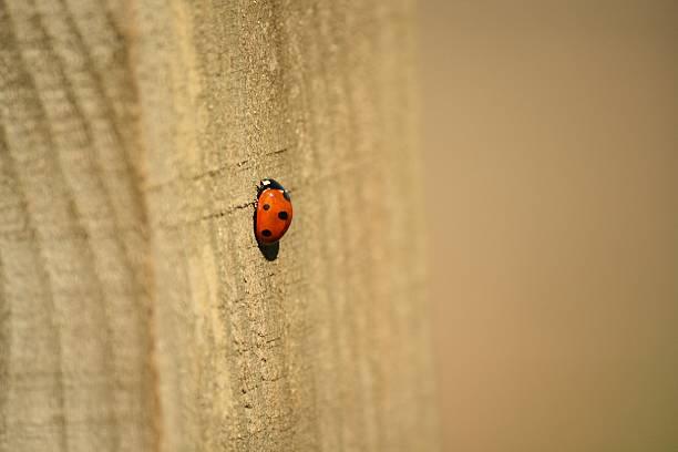 lady bug ladybird on wooden post stock photo