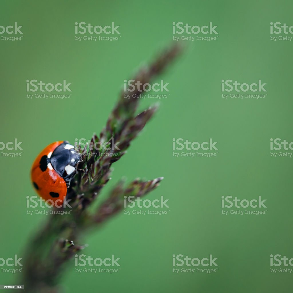 Lady bug on a green background stock photo