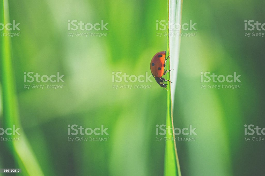 lady bug on a wild flower stock photo
