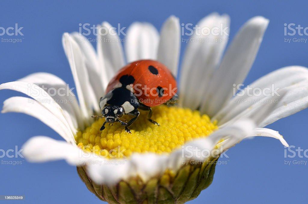 Lady bug on daisy stock photo