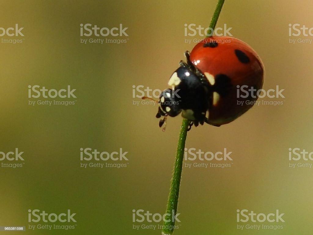 Lady bug zbiór zdjęć royalty-free