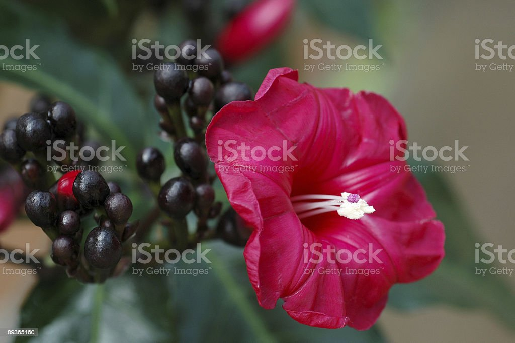 Lady Doorly's morning glory, Ipomoea horsfalliae royalty-free stock photo