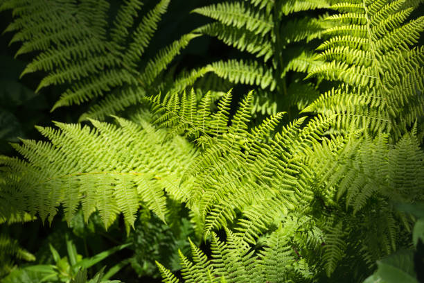 Lady fern stock photo