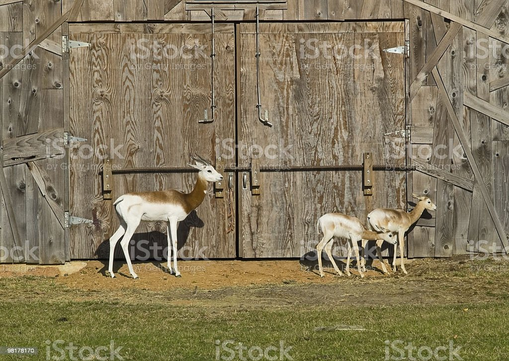 dama gazelle royalty-free stock photo