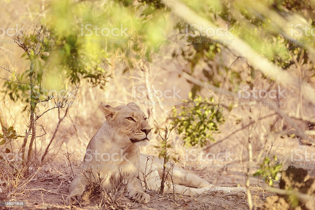 Lady Lioness Alert With Ears Back royalty-free stock photo