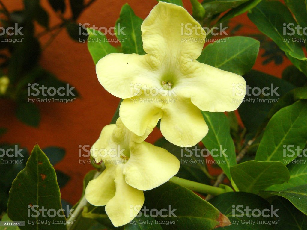 Lady of The Night flowers stock photo