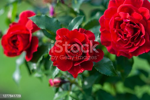 istock Lady Ryder of Warsaw rich crimson red roses - modern british shrub by Harkness 1277541723