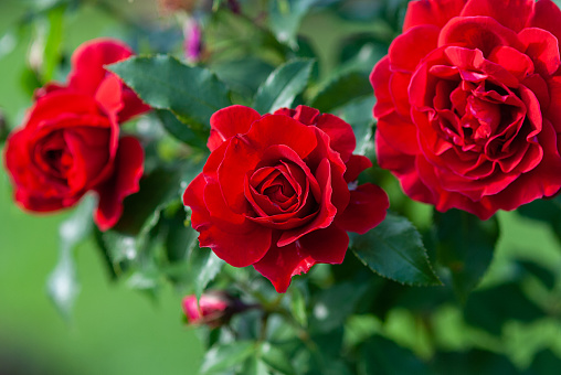 Lady Ryder of Warsaw rich crimson red roses - modern british shrub by Harkness