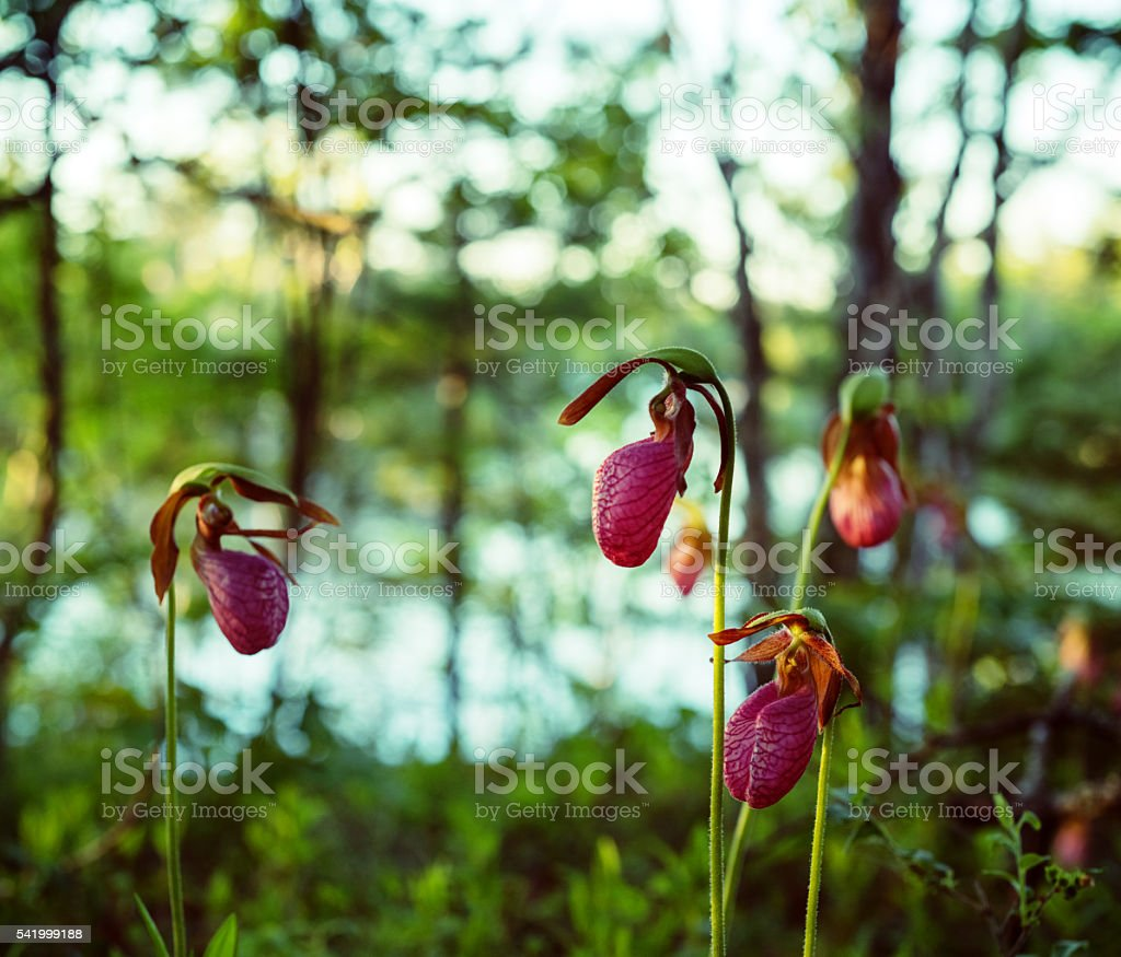 Lady Slipper Forest stock photo