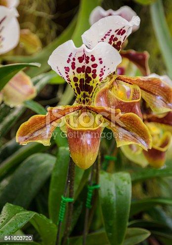 Lady slipper orchid or Paphiopedilum Slipper Orchid (Paphiopedilum gratrixianum) in bloom