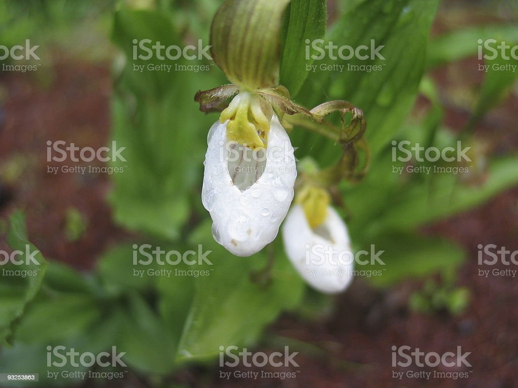 Lady Slipper Orchid royalty-free stock photo