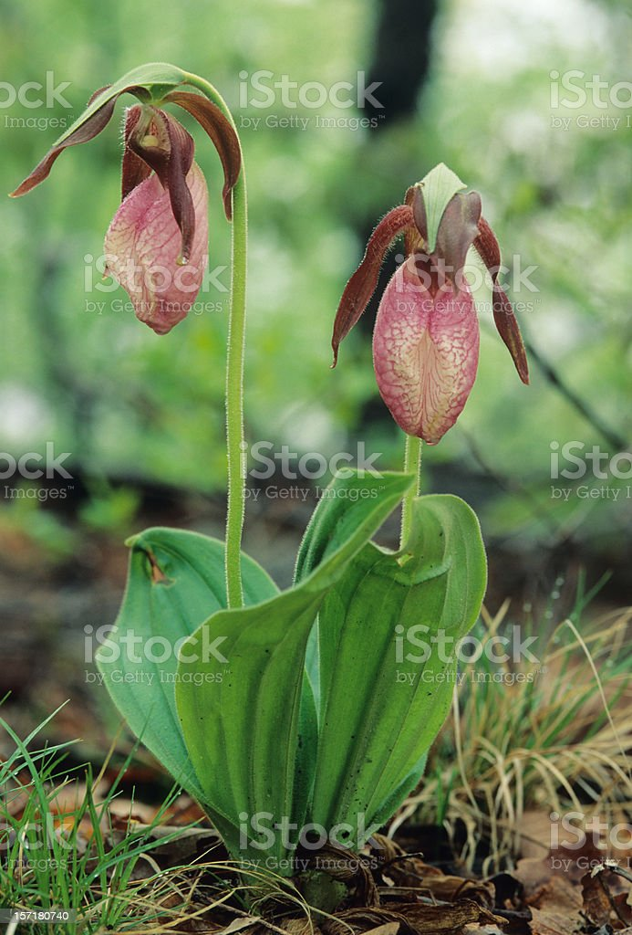 Lady Slippers stock photo