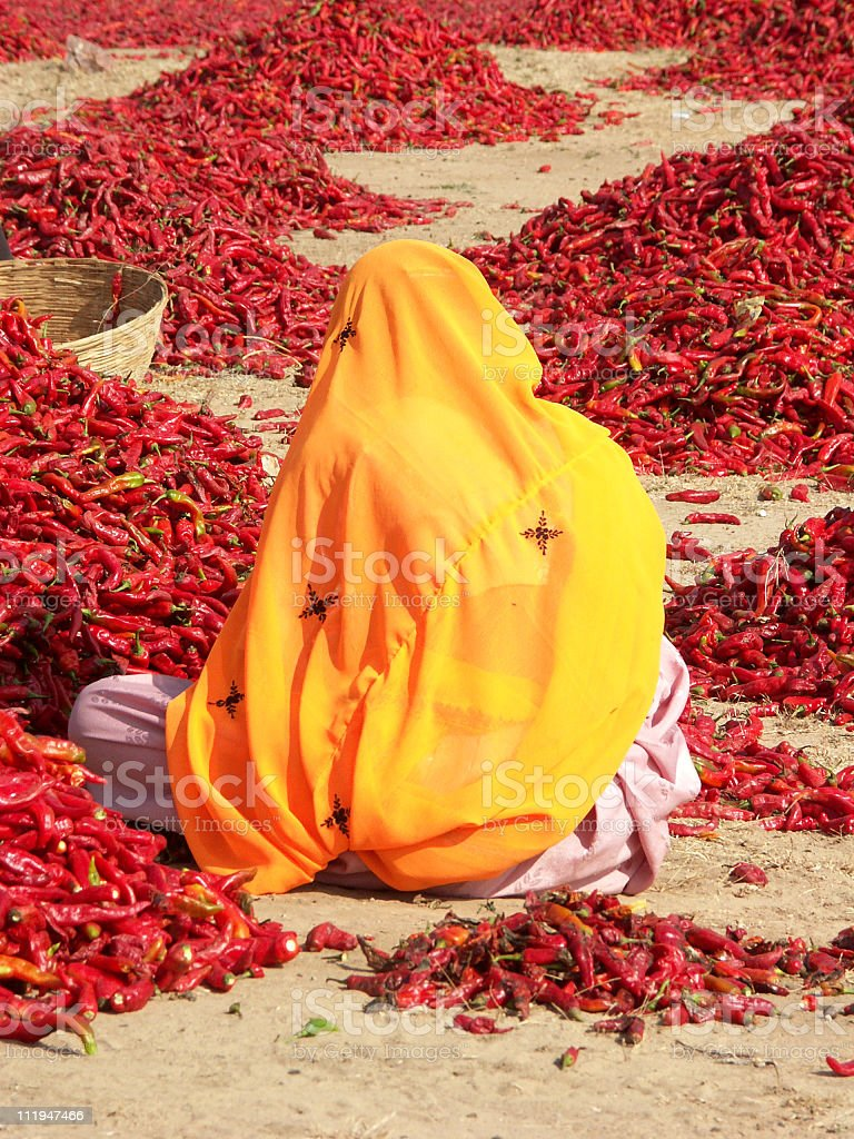Lady with yellow veil inspecting red chili peppers,Rajasthan,India royalty-free stock photo