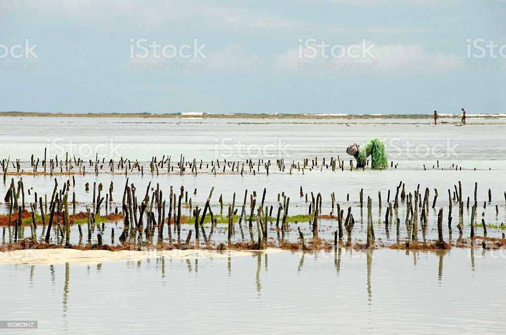 Lady working at Seaweed farm ,Kiwengwa Beach,Zanzibar,Tanzania royalty-free stock photo