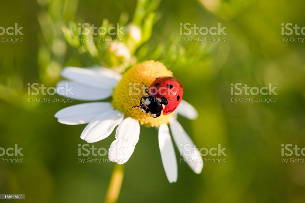 Ladybeetle on chamomile flower (XXXL) royalty-free stock photo