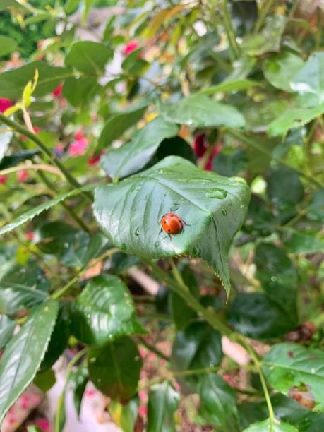 A Ladybird aka Coccinellidae on a leaf. stock photo